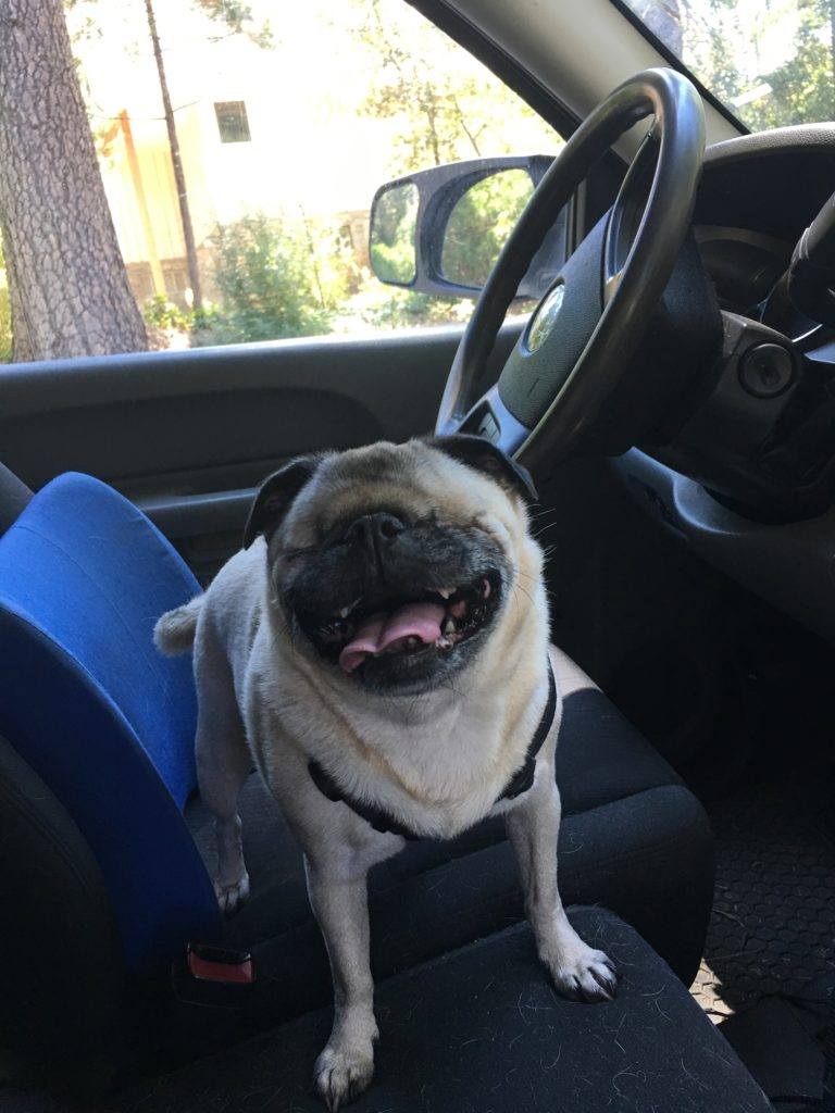 A small fawn pug dog missing her eyeballs but smiling with tongue out sits behind the wheel of a truck.